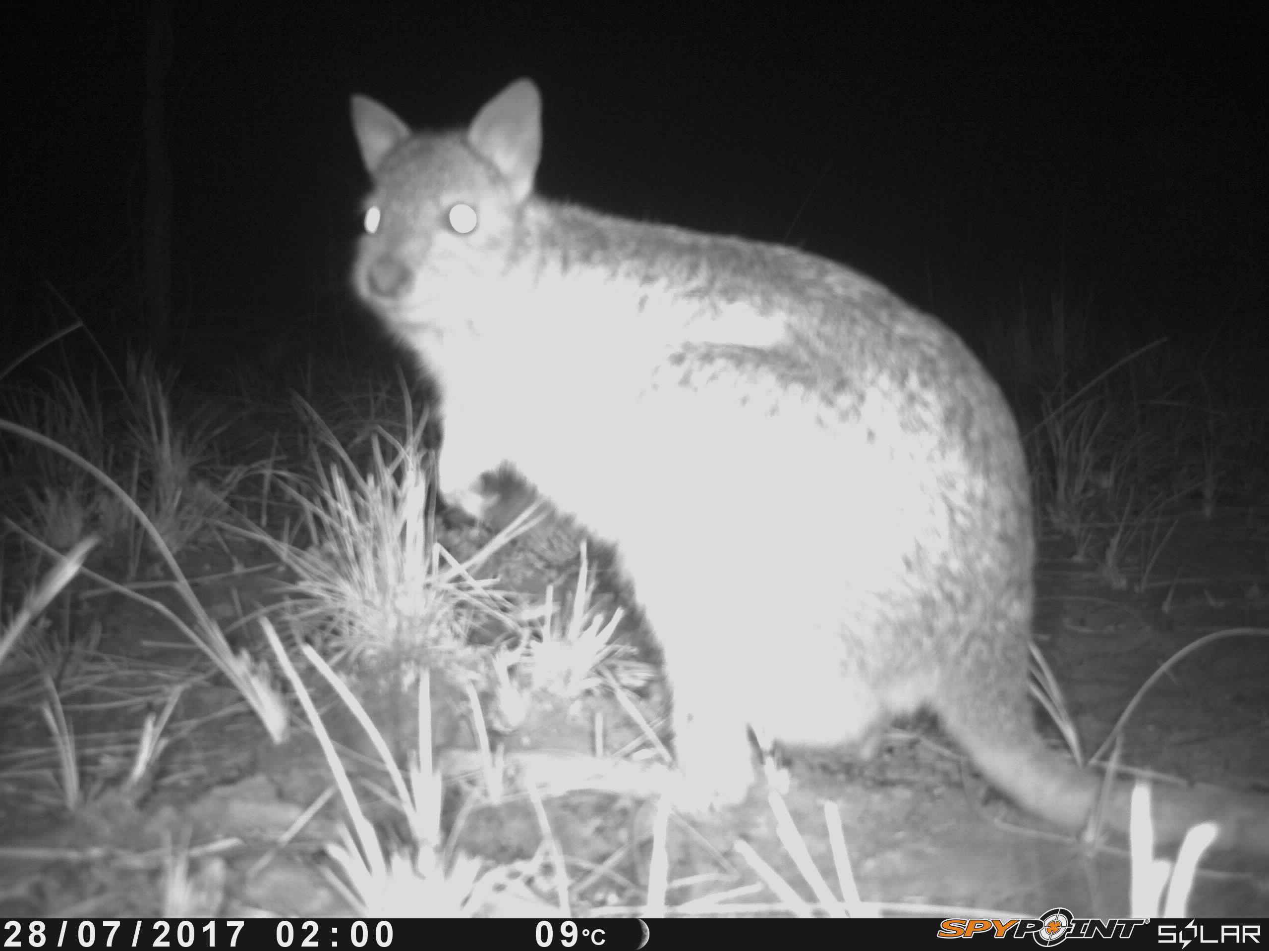 Spectacled Hare Wallaby