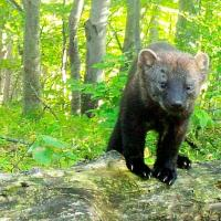 Camera trap image of fisher