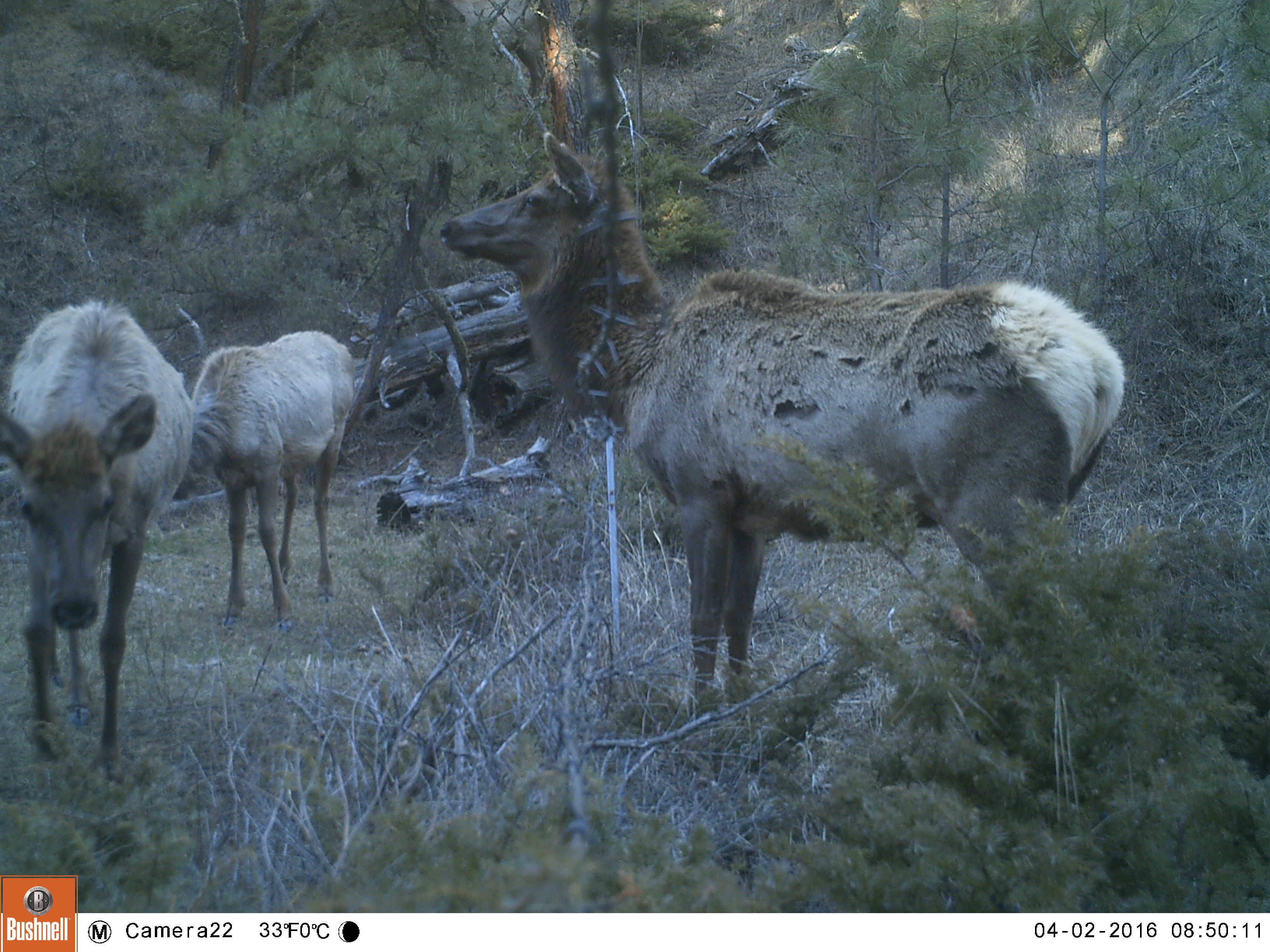 Elk_Red Deer