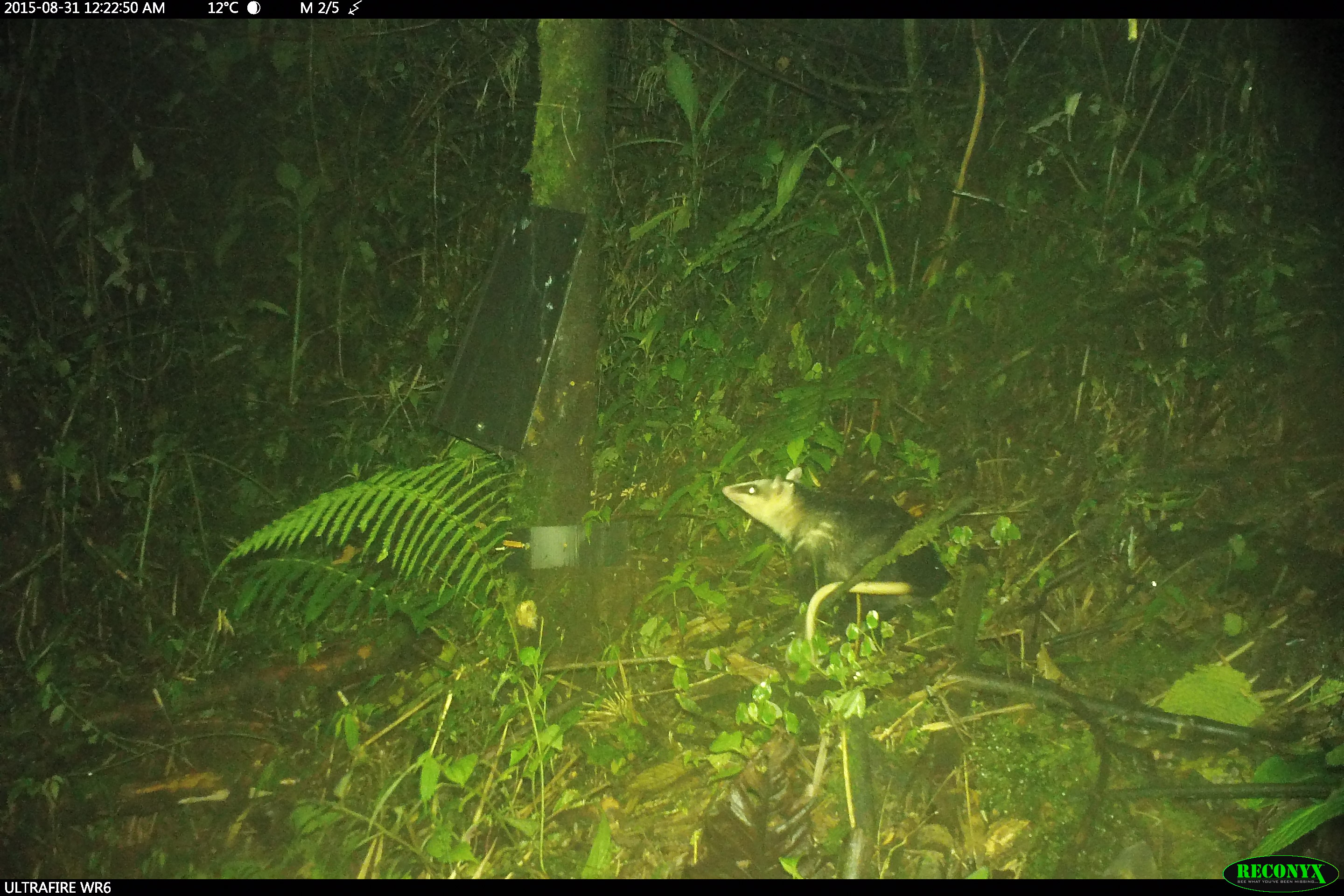 Andean White-eared Opossum