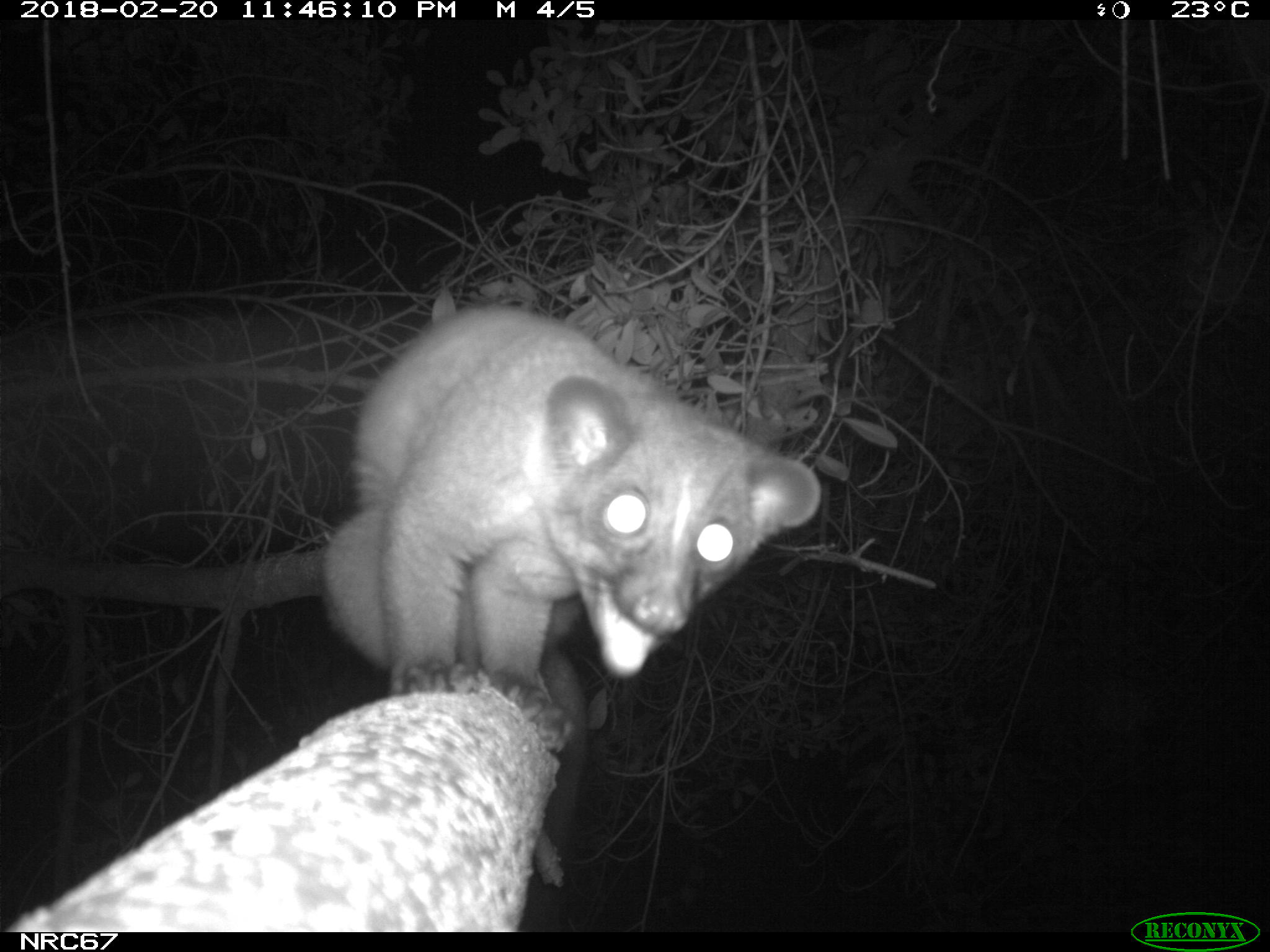 Small-toothed Palm Civet