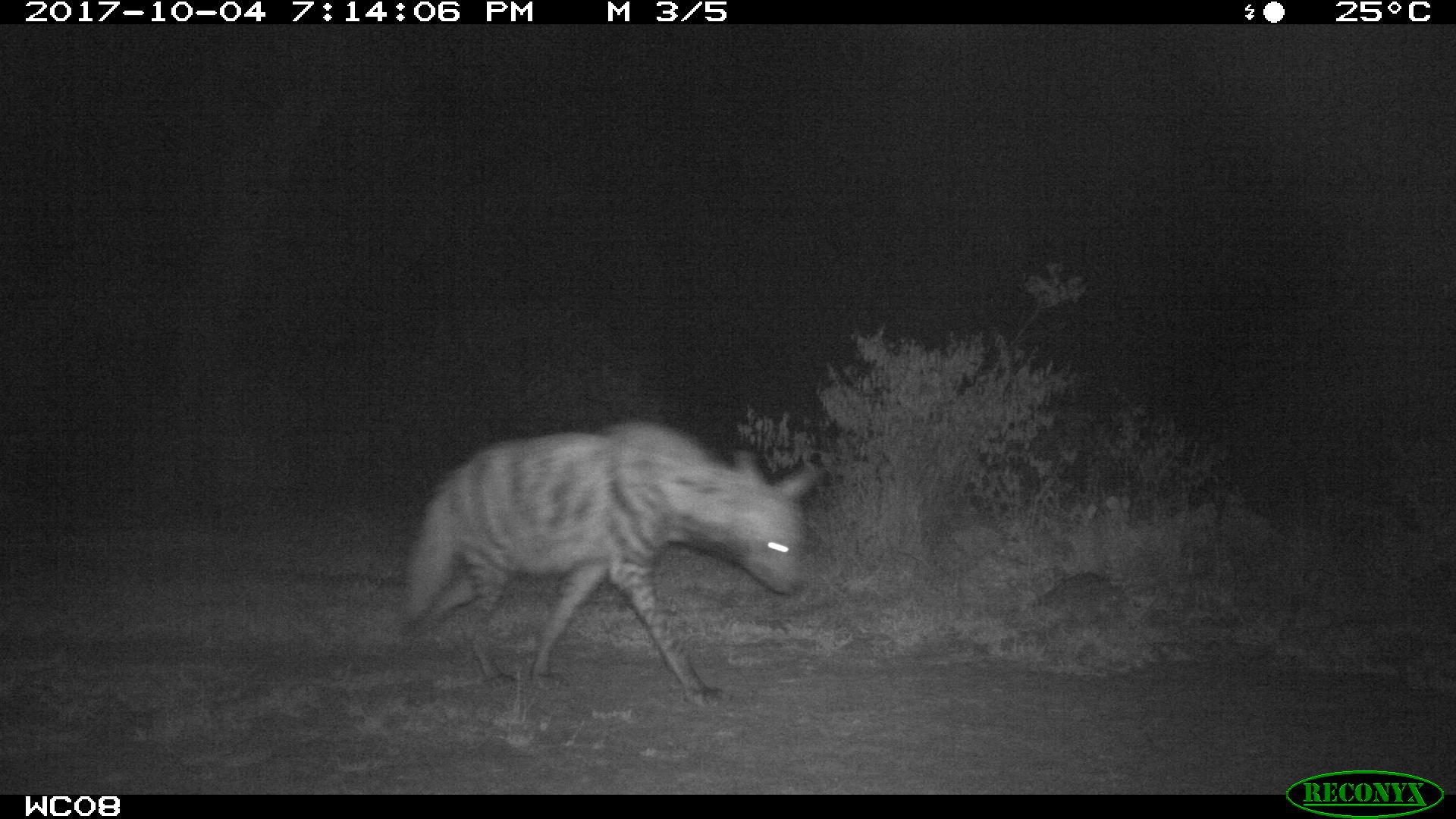 Striped Hyaena