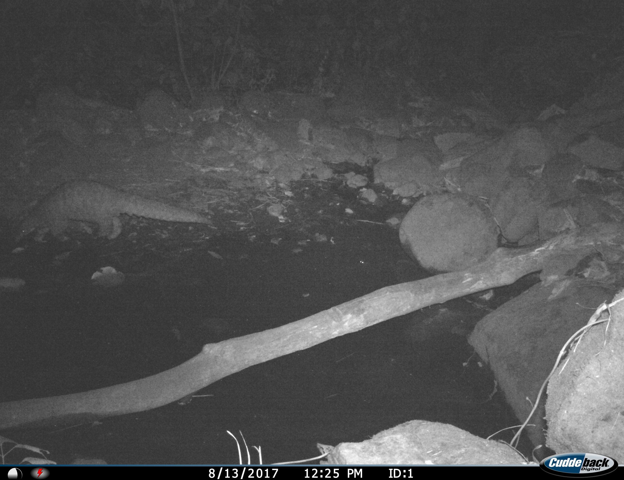Thick-tailed Pangolin