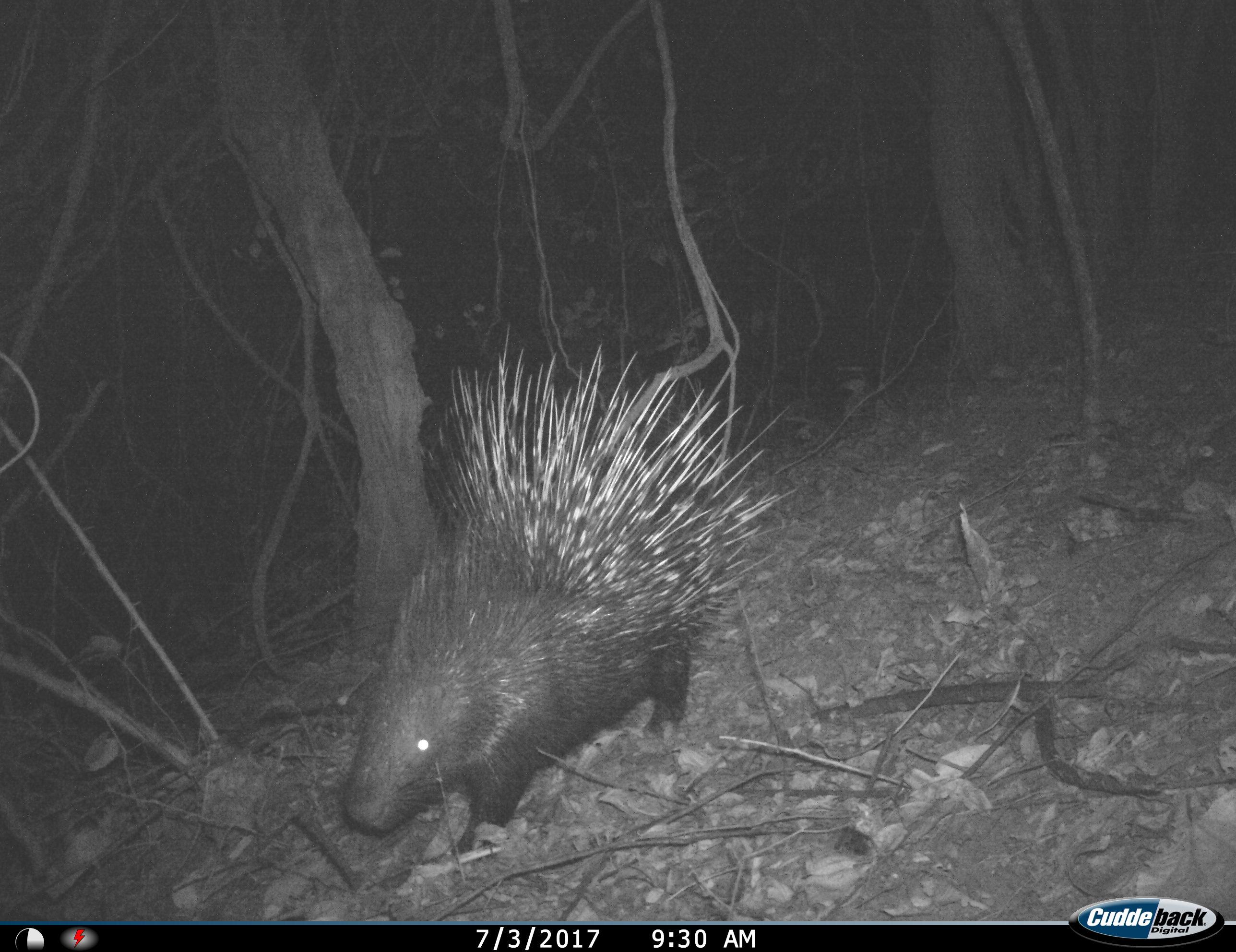 Indian Crested Porcupine
