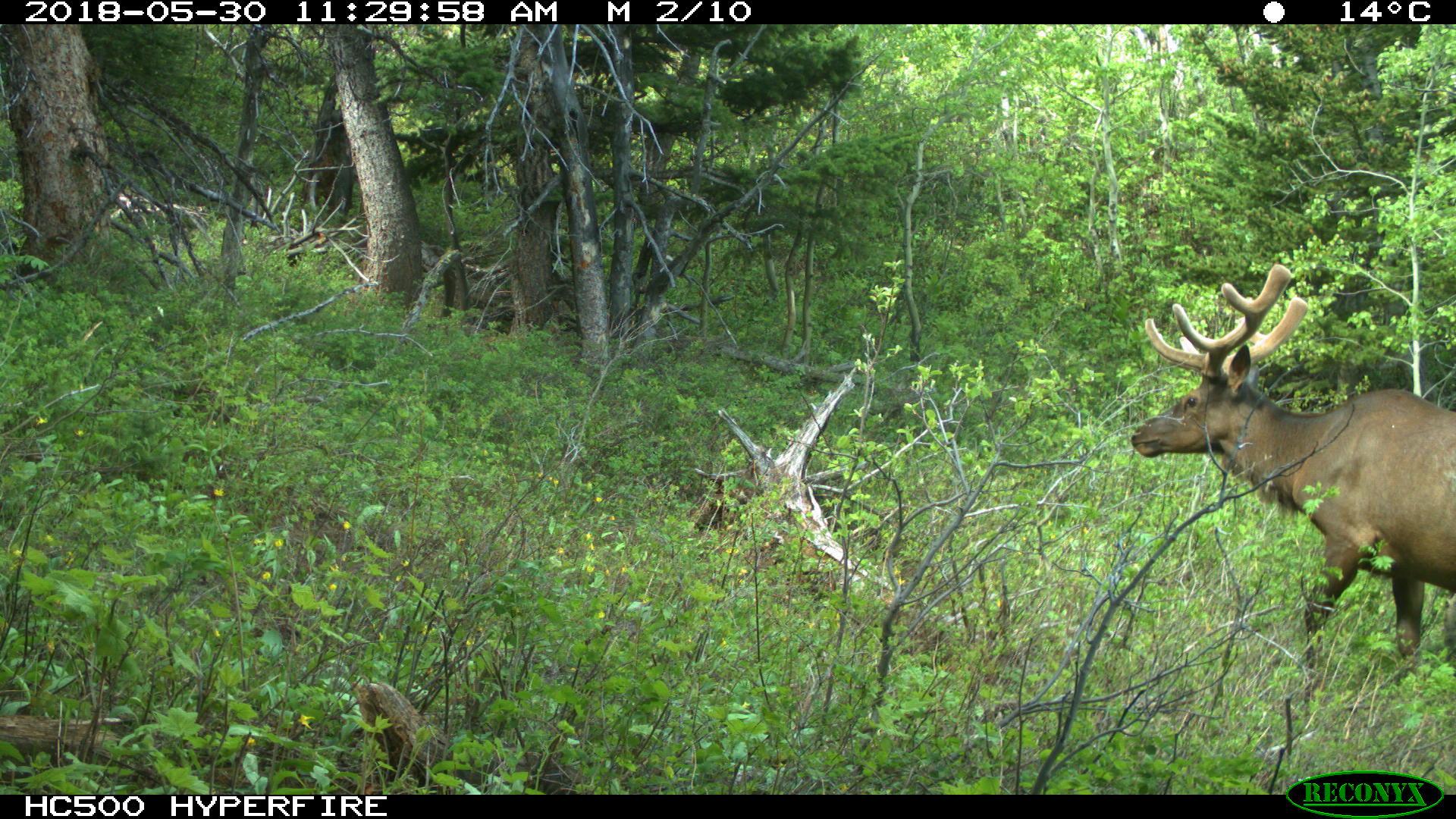 Elk aka Red Deer