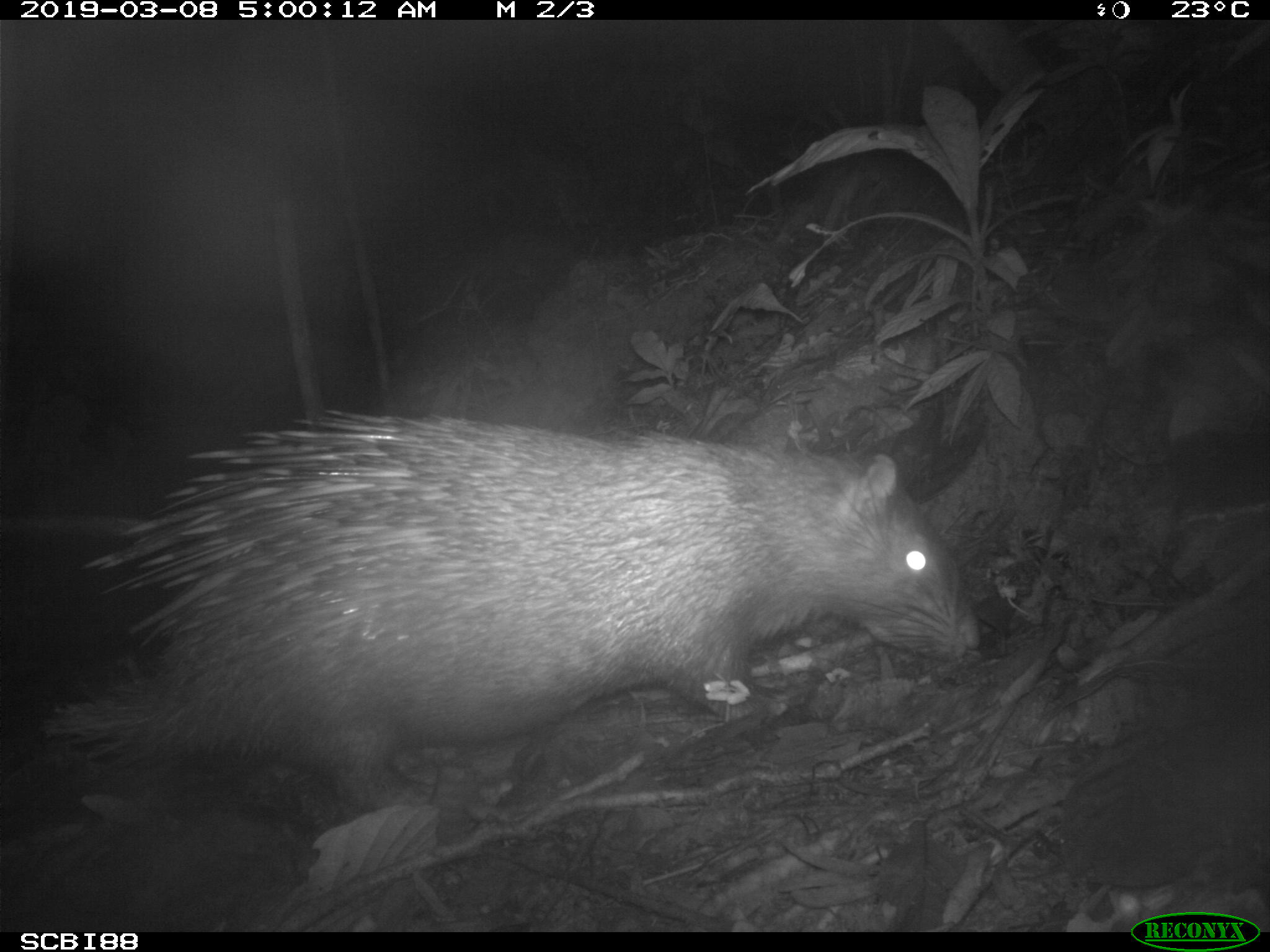 Thick-spined Porcupine