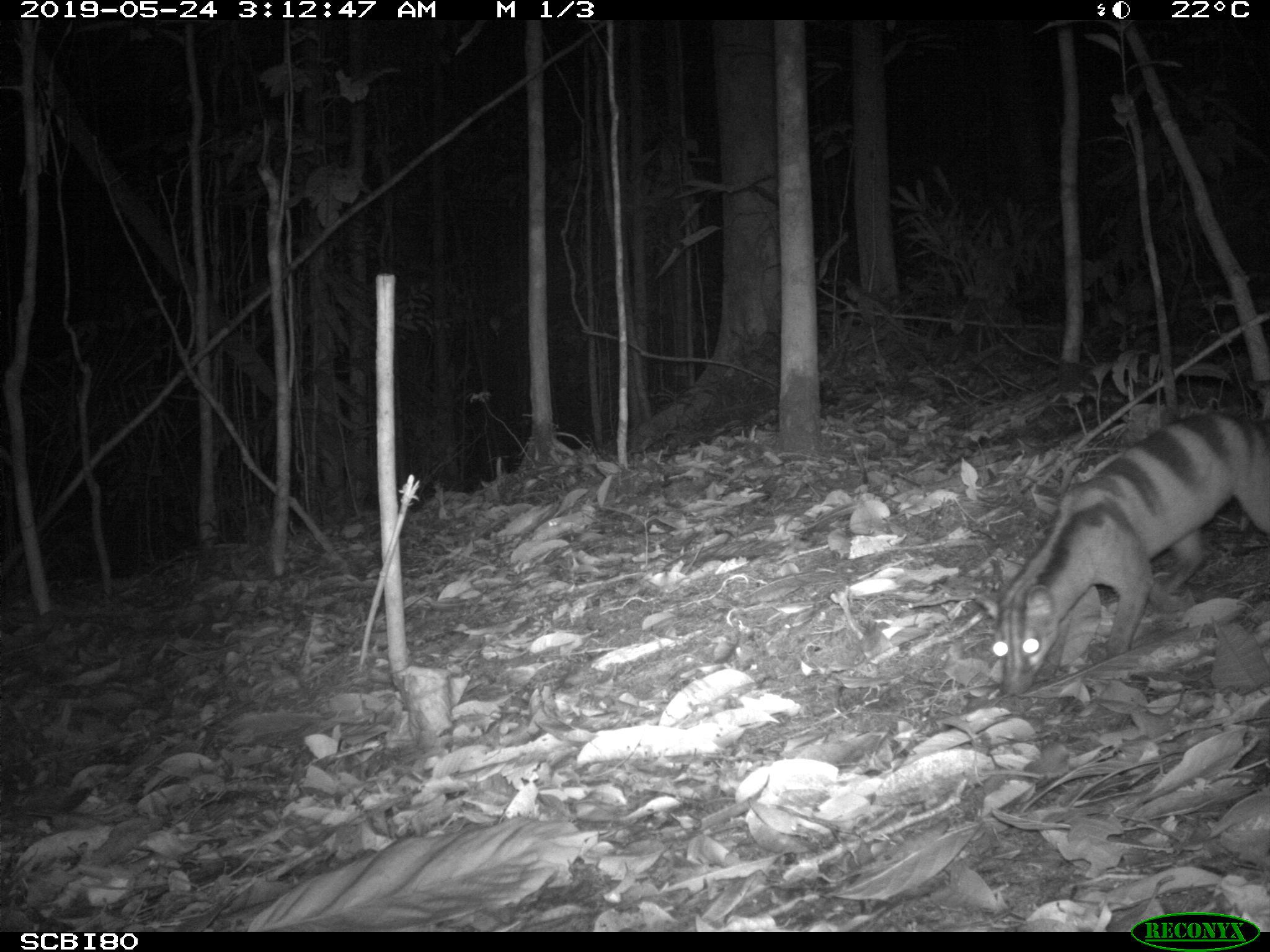 Banded Civet