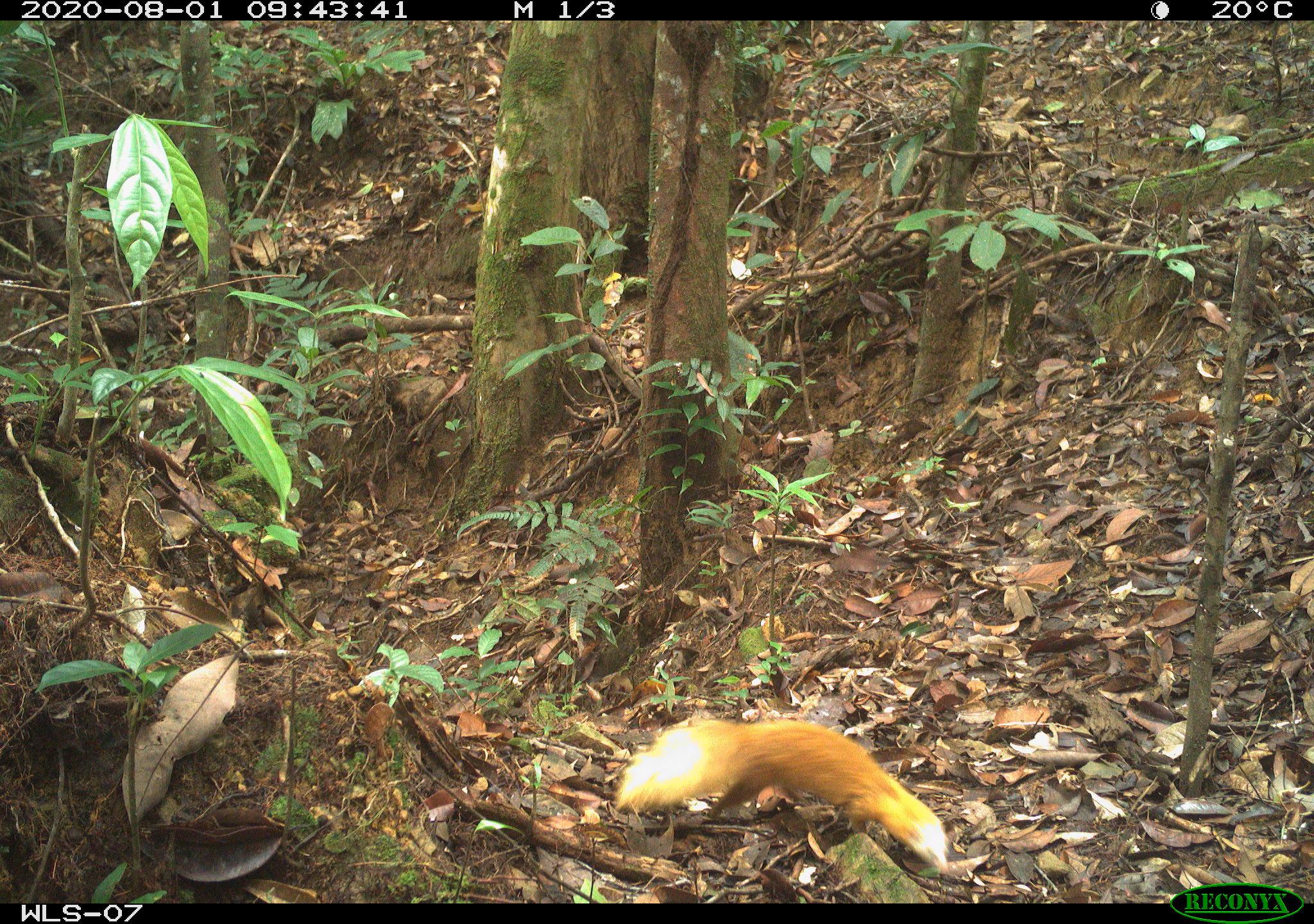 Malay Weasel