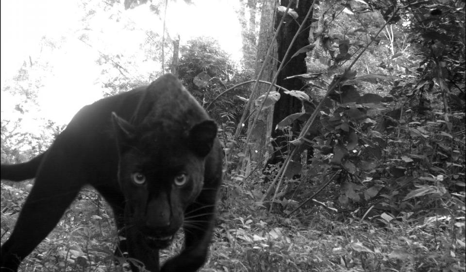 Carnivore Intraguild Interactions - Select Thailand Reserves